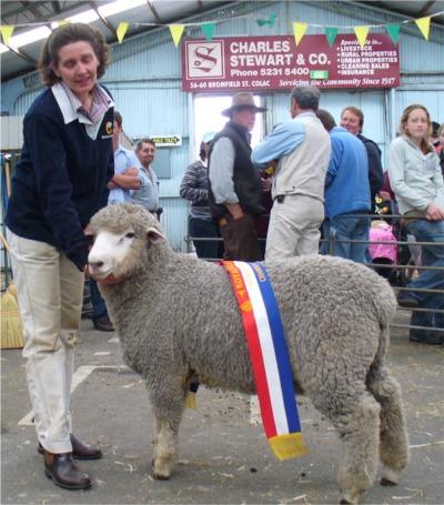 Champion Interbreed Lamb -  Sweetfield